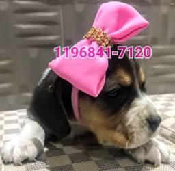 Linda Fêmea de Beagle tricolor a pronta entrega só aquiiii