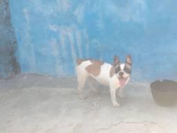 Bulldog francês fêmea  Em 10 x sem juros