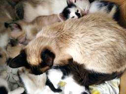 Doa-se gatinhos Siamese