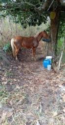 Cavalo Palomino lindo