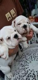 Vendo 2 bulldogues inglês machos