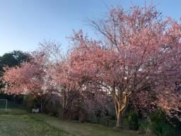 Cerejeira do Japão (mudas)