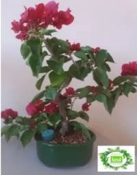 Bonsai De Primavera Vermelha + Kit Adubo E Porta Adubo