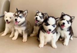 Husky Siberiano compre comigo ligue (11)26051522 ou wpp *