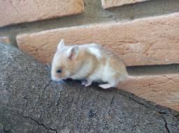 Hamster Sírio disponíveis