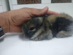 Mini coelho macho