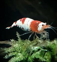 Red Black Golden Bee Crystal Shrimp Aquário Ornamental