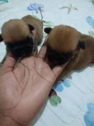 Filhote de Pug com Shitzu
