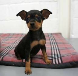 Pinscher  adquira seu pet