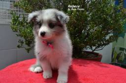 Filhotes de Boder Collie C Pedigree