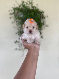 Poodles com pedigree! 10x sem juros