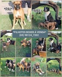 Venda de filhotes de Rottweiler e Boxer Puros
