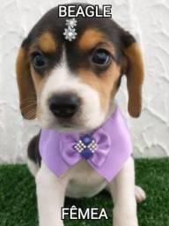 Beagle femea com garantia e procedência
