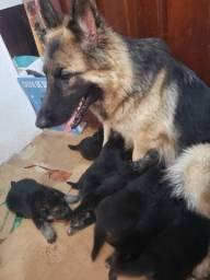 Filhotes de Pastor Alemão Cão de Guarda