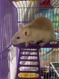 filhote de rato