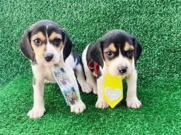 lindos bebes de beagle a pronta entrega  *