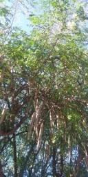 Moringa ( folhas, vagem e sementes)