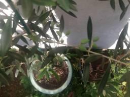 Vendo 2 mudas de oliveira (casal)