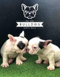 Bulldog frances femea branco e preto