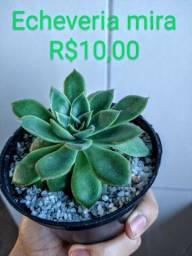 Plantas - Suculentas e Cactos *Oportunidades