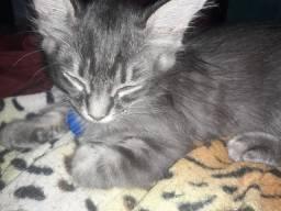 Gato Cinza macho doação