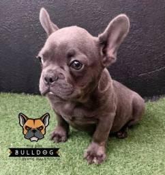 Bulldog Francês Blue com raja