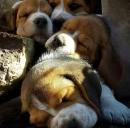 ^*#= Beagle! 13 Polegadas. Mini com Pedigree