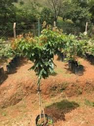 Plantas ornamentais, frutíferas e nativas a venda