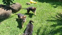 Filhotes de Guarda com pedigree