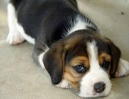 Belos.!! Beagle . 13 Polegadas Mini com Pedigree e Garantia de Saúde