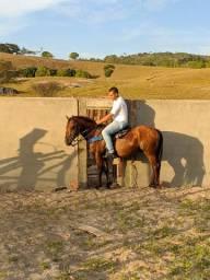 Cavalo castrado Novo Mestiço com QM