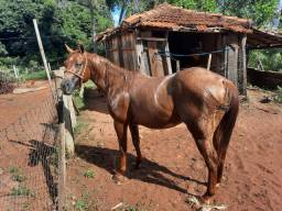 Vendo cobertura cavalo qm rosilho p273689
