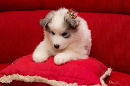 Filhote husky sebiriano filhote fêmea contato *