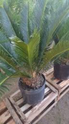 Palmeira e vasos de luxo