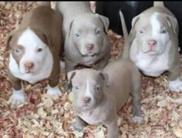Pitbull fêmeas e machinhos,  filhotes com garantias!!
