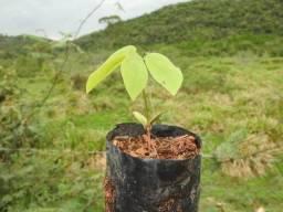 Mudas de roxinho (peltogyne confertiflora)