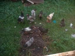 Vendo 9 galinhas