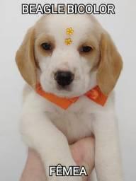 Linda femea de Beagle bicolor
