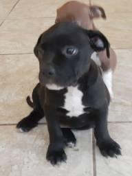 American Pitbull Terrier Com Pedigree