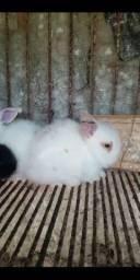 Lindos filhotes de coelhos angorá