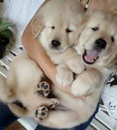 Golden retriever lindos
