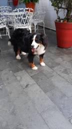 Filhotes de Bernese Mountain Dog C Pedigree