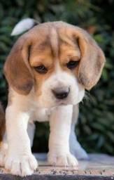 Beagle fêmea com garantia de vida e pureza em contrato