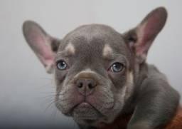Bulldog francês lindos filhotes disponíveis femea e