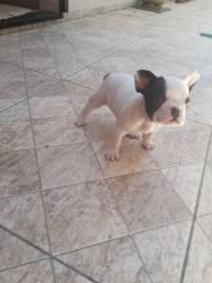Bulldog francês !!!