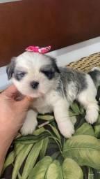 Shih Tzu. Perfeitos filhotes Vacinado e com pedigree