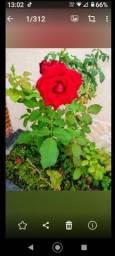 Rosa de luxo