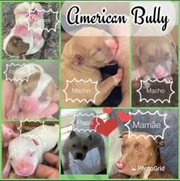 Título do anúncio: Bebezinho American Bully lindos