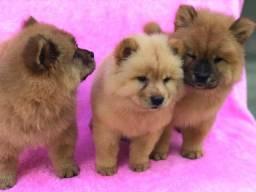 Trio ternura lindos filhotes chow chow disponível pedigree cbkc disponível