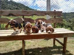 Beagle inglês/ Canil Canaã-Ceará